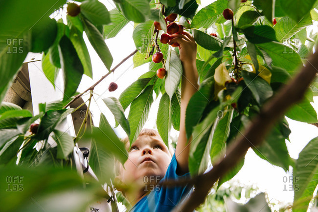 Boy picking cherries from a tree