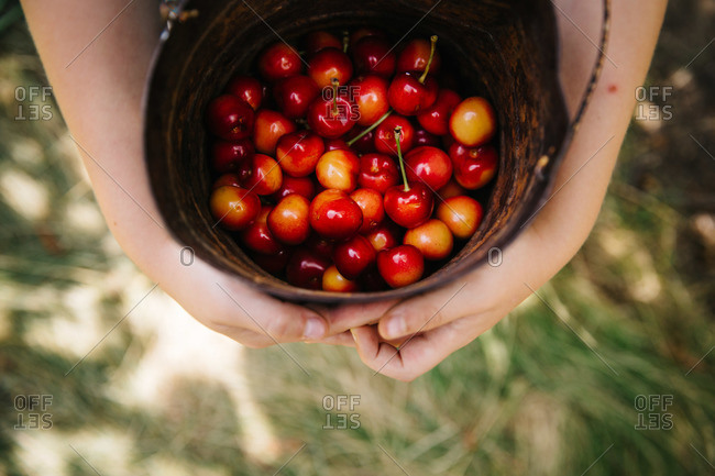 Overhead view of hands holding a bucket full of cherries