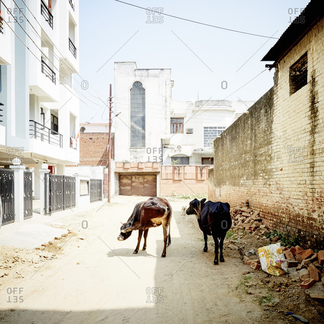 Cows on street, Varanasi, Uttar Pradesh, India