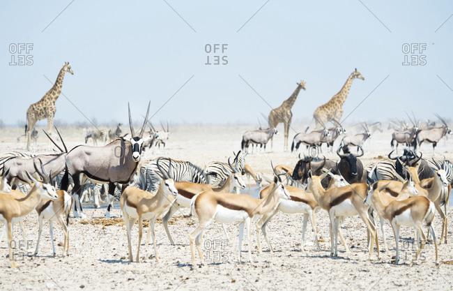 Wild animals at a waterhole, Etosha National Park