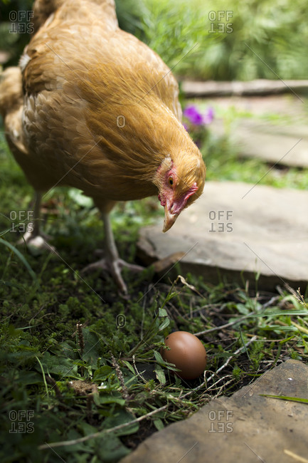 Chicken looking at an egg