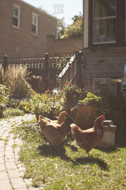 Chickens walking around a backyard