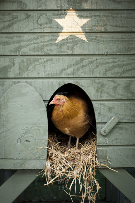 Chicken standing in the doorway of a henhouse