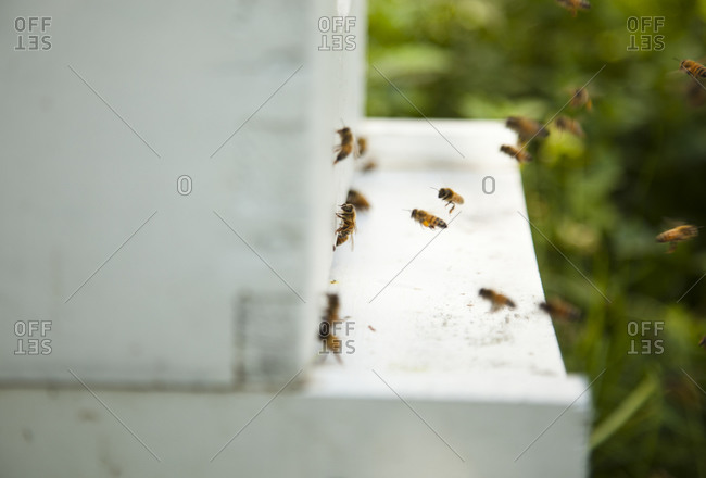 Honey bees flying around a beehive