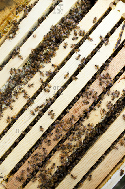 Honey bees inside of a beehive