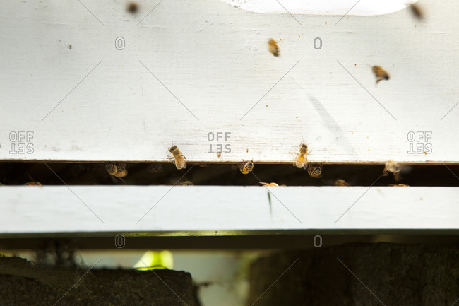 Honey bees going in and out of a beehive