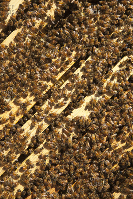 Beehive covered in honey bees