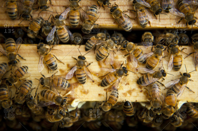 Close up of honey bees inside of a beehive