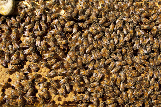 Honeycomb covered in honey bees