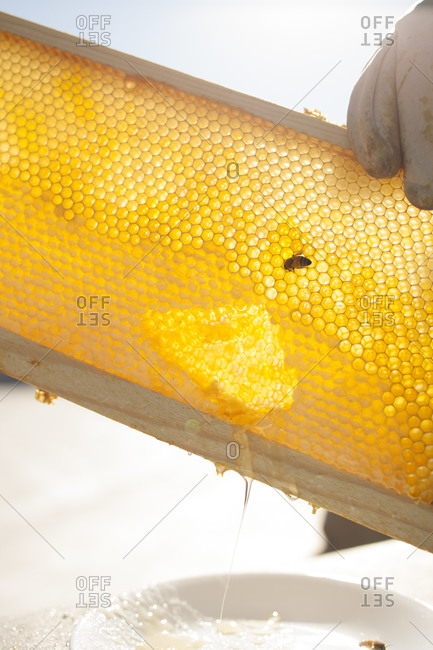 Beekeeper lifting honeycomb from beehive