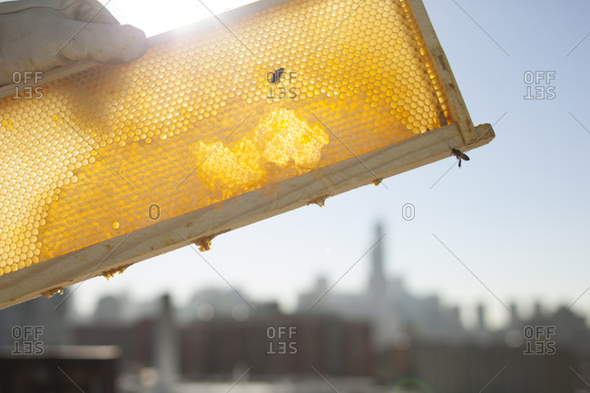Beekeeper holding honeycomb up in the sunlight