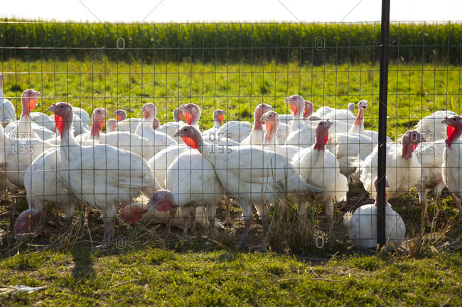 Young white turkeys on a farm