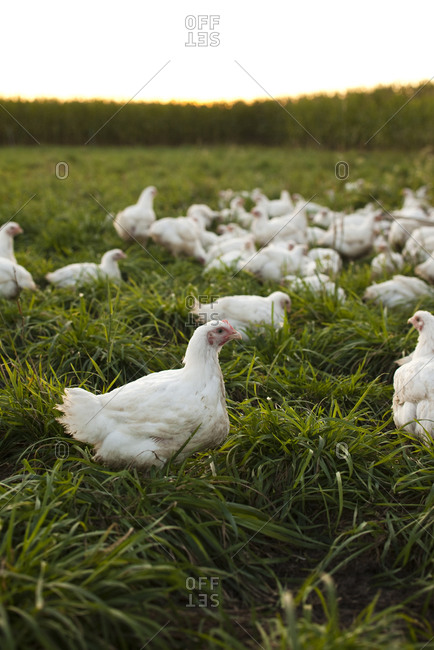 White chickens in a field