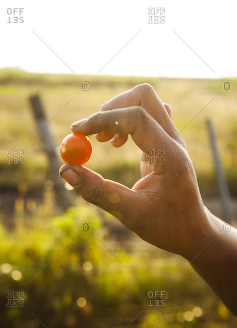 Farmer holding a fresh tomato from a garden