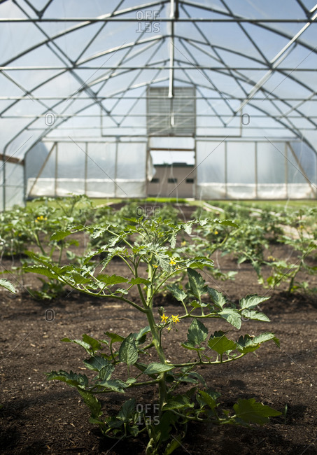Tomato vines growing in a greenhouse