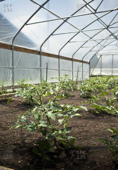 Several tomato plants growing in a greenhouse