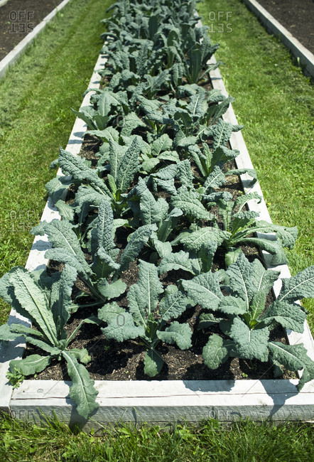 Kale growing in a raised garden