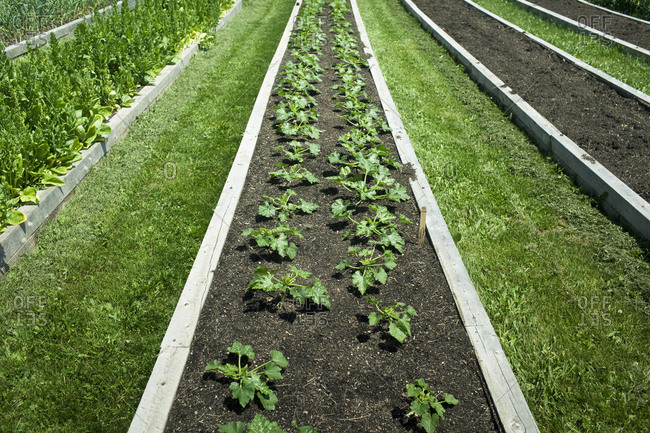 Vegetables growing in a raised garden