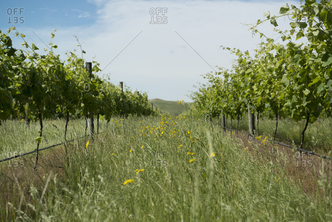 Overgrown grass in a vineyard