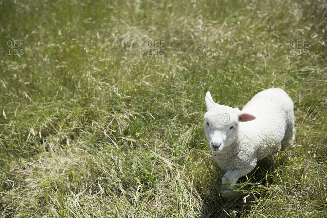 Little lamb roaming in a field