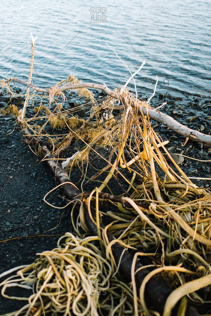 Seaweed wrapped around branches by a lake