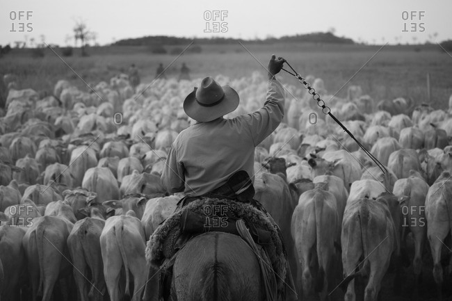 Cowboy herding cows in black and white