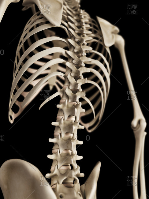 Human spine on a skeleton