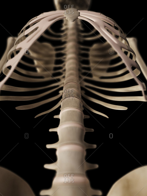 Human spine on a skeleton, front view
