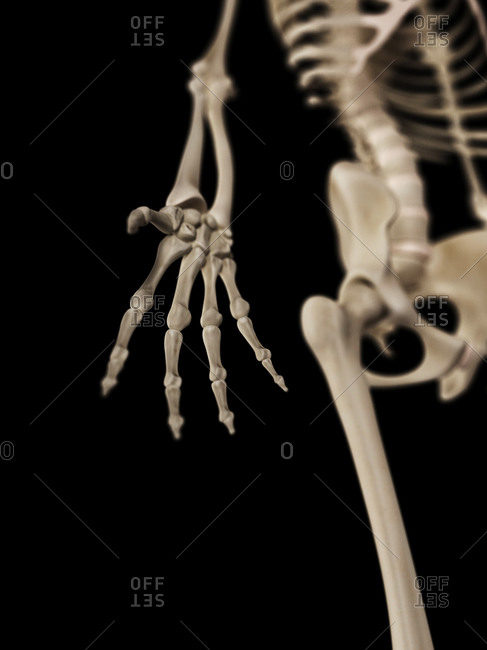 Human hand bones on a skeleton