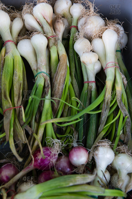 Overhead view of scallion banded together