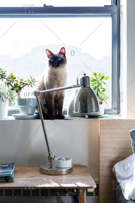 Siamese cat sitting on a windowsill above a bedroom nightstand