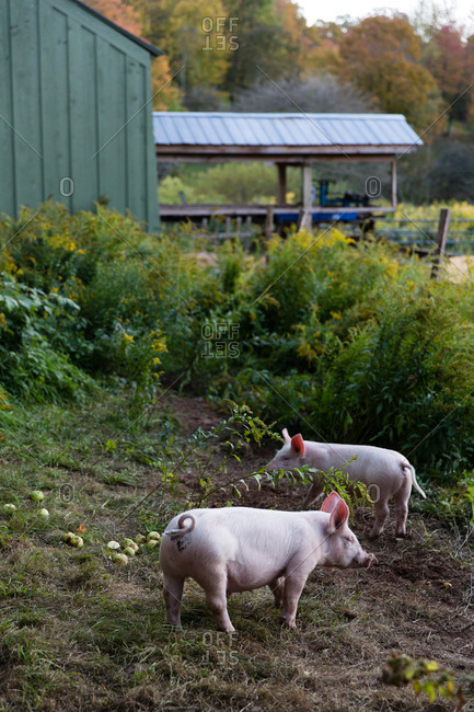 Two pigs foraging in an enclosure on a farm