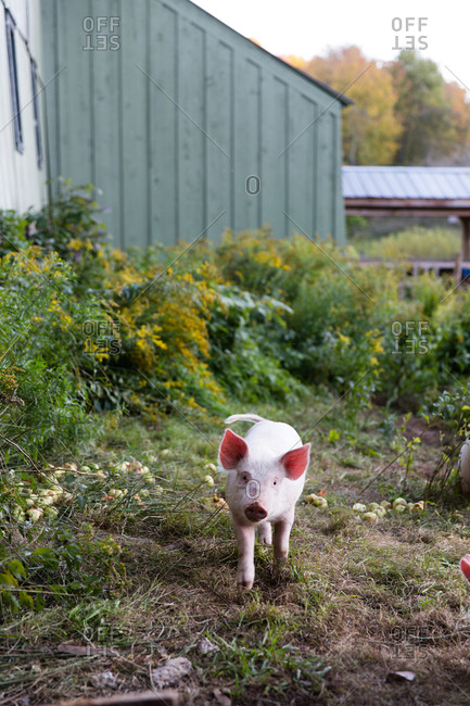 A pig foraging in an enclosure on a farm