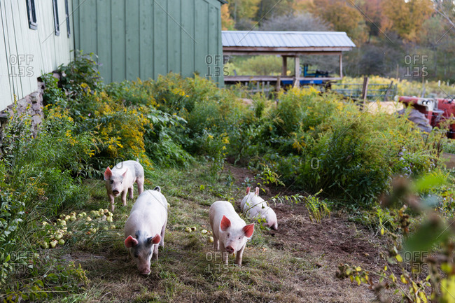 Pigs foraging in an enclosure on a farm