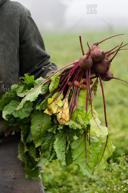 Farmer holding a beets - Offset