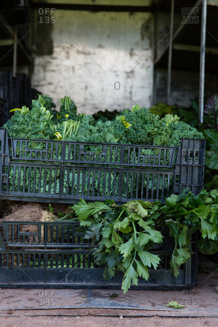 Crates filled with leafy green vegetables