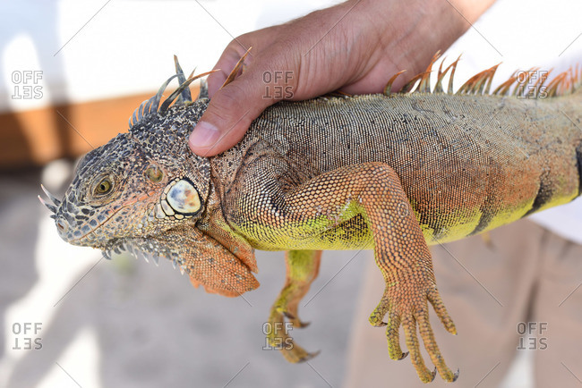 Close up of person holding an iguana