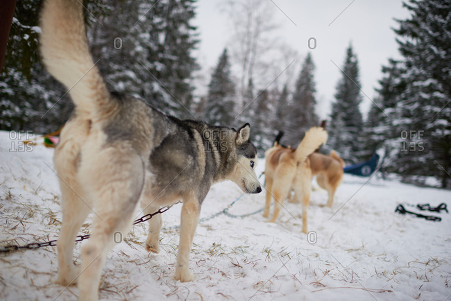 Dogs attached to a sled in a snowy forest