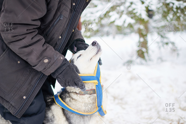 Man putting a harness for sledding on a dog