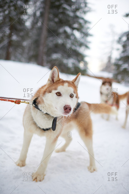 Siberian husky attached to a dogsledding rope