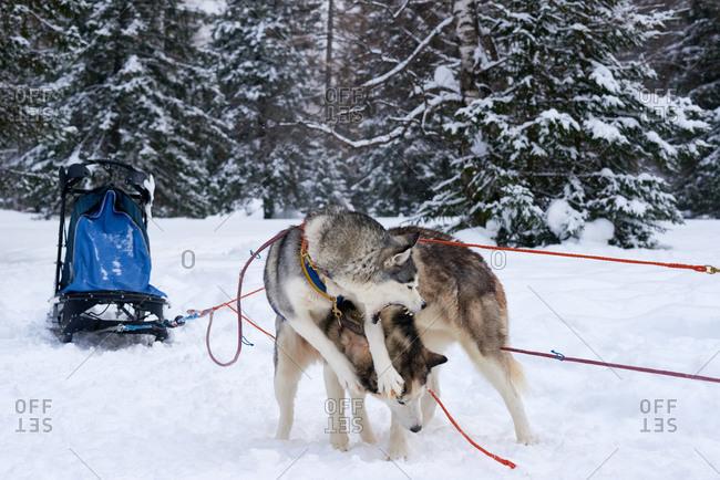 Sled dog roughhousing with its partner