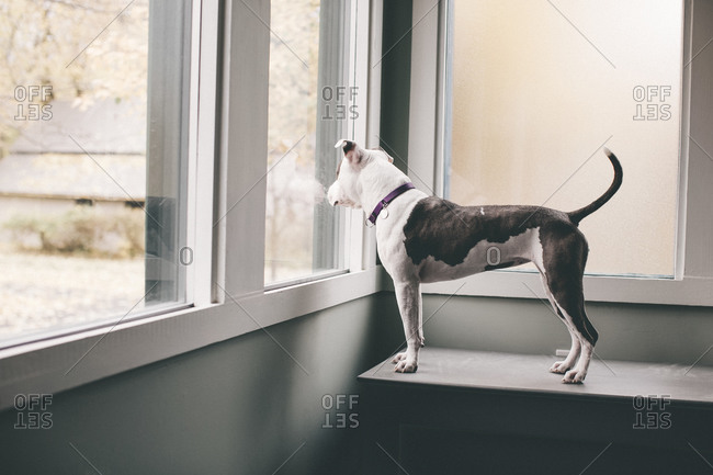 Dog standing on bench to look out window