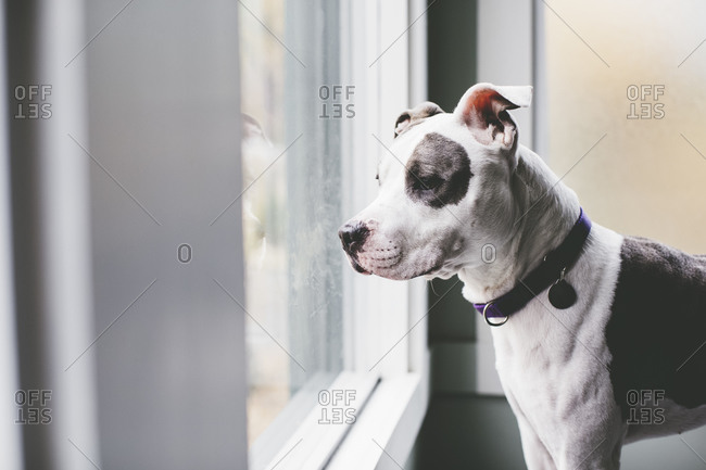 American pit bull terrier looks out window