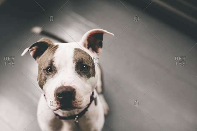 Overhead portrait of a brown and white dog