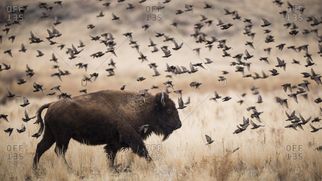 American Bison surrounded by European Starlings on Antelope Island State park, Utah