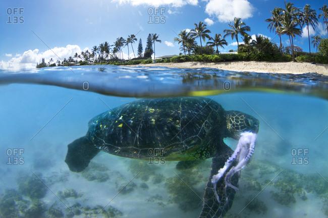 A Hawaiian Sea turtle after just capturing an octopus