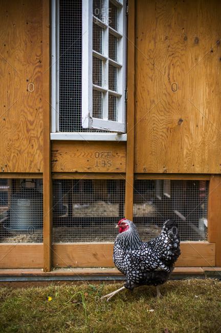 One chicken strutting in a backyard chicken coop