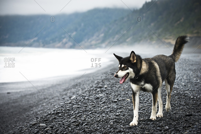 A husky walks along a black sand beach in northern California