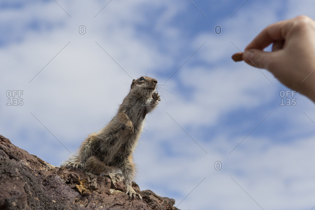 A squirrel trying to get an almond from somebody hand Fuerteventura, Canary Islands