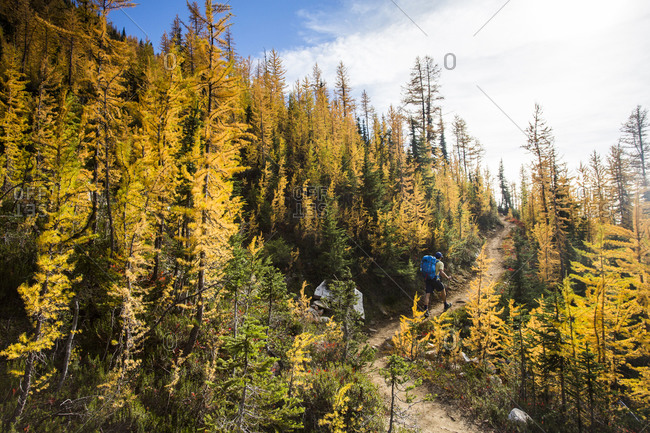 Man hikes through the larch trees in the Pasayten Wilderness on the Pacific Crest Trail in Washington